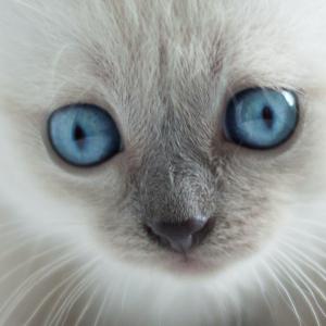 Lenda gato